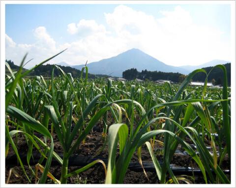 九州産にんにく畑