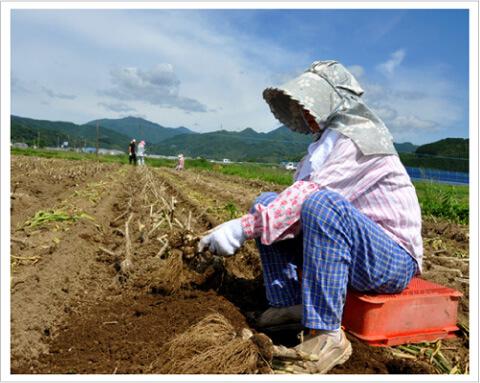 九州産にんにく畑 作業中