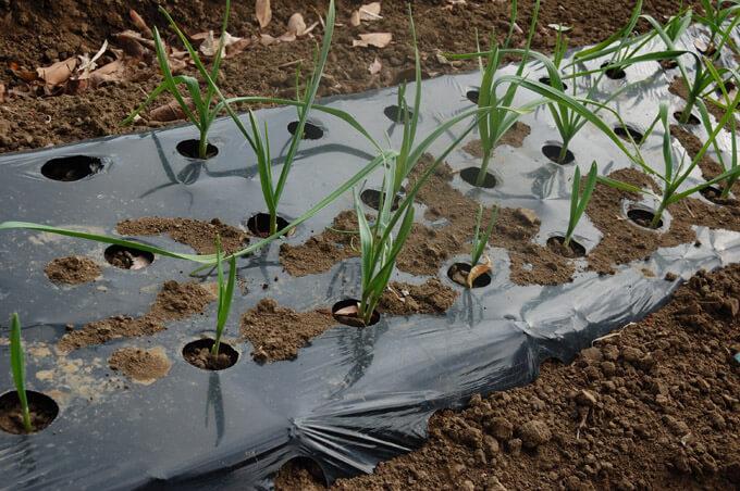 にんにくの産地づくりー契約農家のにんにく畑