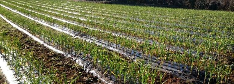 無農薬・無化学肥料のニンニク畑