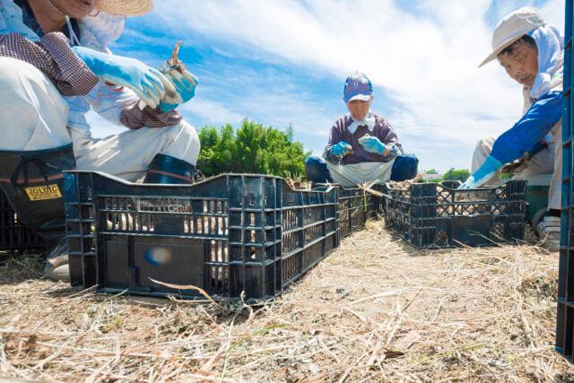 九州産にんにく、収穫 3