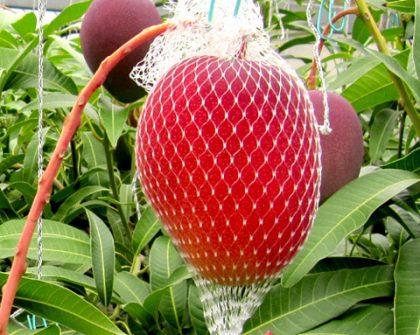 無農薬 宮崎産完熟マンゴー