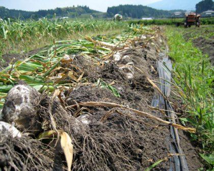 九州産にんにく 収穫