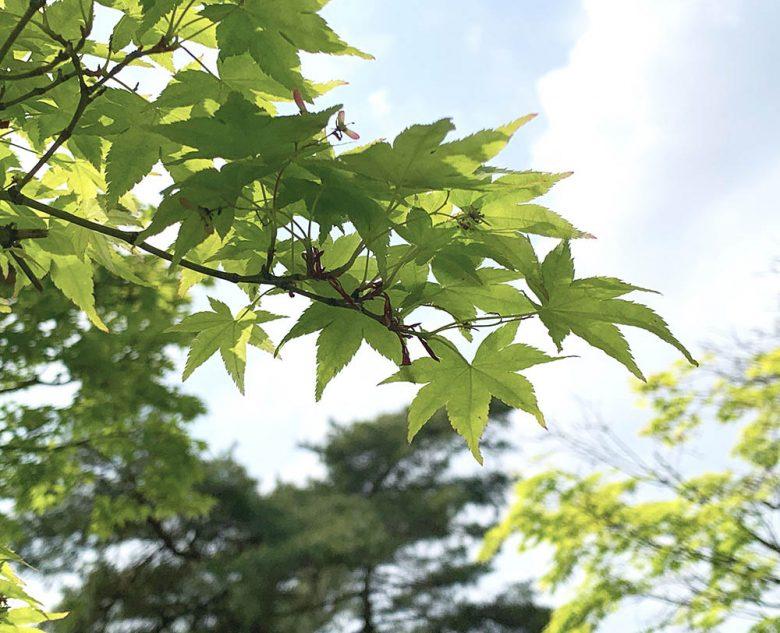 新緑の季節(楓)