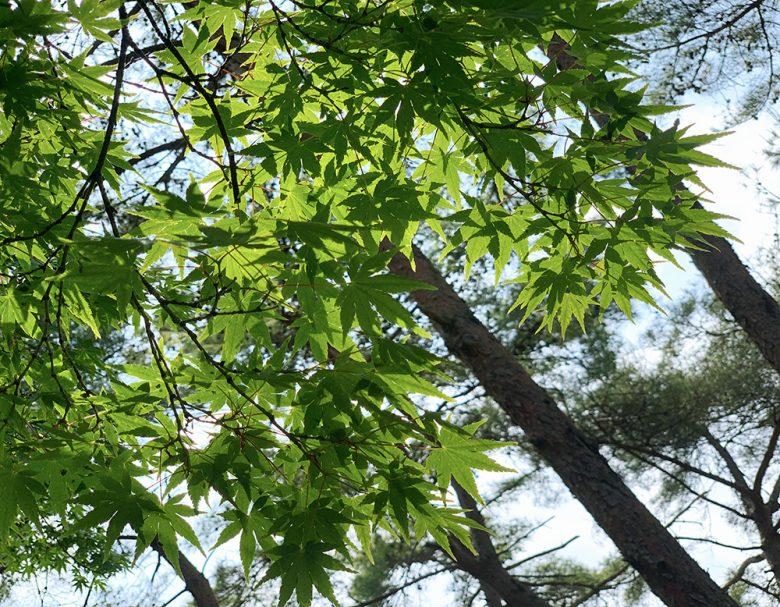 新緑の季節(楓)No.2