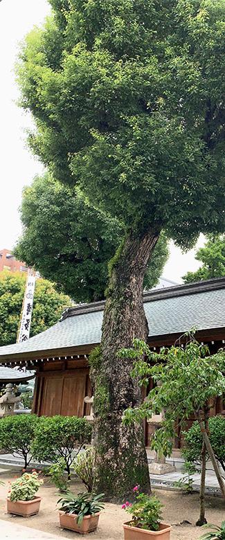 脇門前の大木